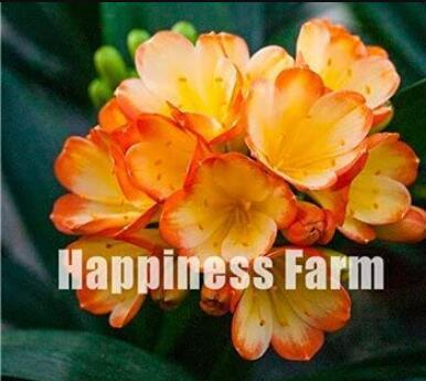 100PCS Clivia Seeds - Redish Orange Flowers
