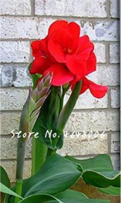 200PCS Canna Lily Seeds - Fresh Red Double Flowers