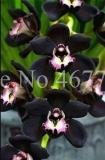 100PCS Cymbidium Floribundum Orchid Seeds - Black Flowers with Light Purple White Centre