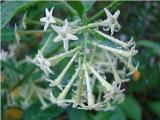 20PCS CESTRUM NOCTURNUM Seeds Night Blooming Jasmine White Flowers