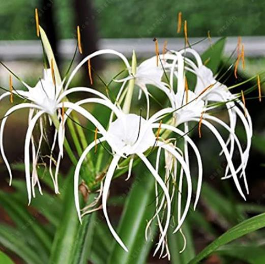 100PCS Spider Lily and Lily Fragrance Ornamental Plants Seeds - White Flowers
