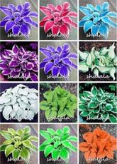 500PCS Hosta Seeds - Mixed 12 Colors