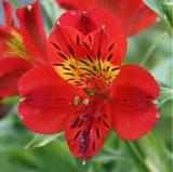 100PCS Rare Peruvian Lily Alstroemeria Flowers - Red Flowers with Little Yellow Black Spots