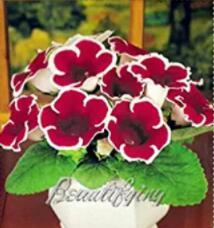 100PCS Gloxinia Seeds - Dark Red Flowers with White Edge