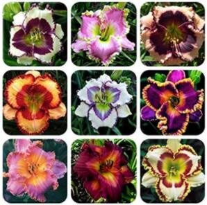 100PCS Hemerocallis Middendorffii Daylily Seeds - Mixed 9 Colors Golden Edge Series
