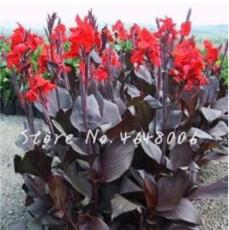 200PCS Canna Lily Flore Outdoor Indoor Seeds - Red Flowers with Dark Red Leaves