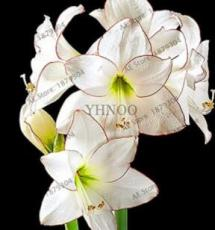 100PCS Gorgeous Clivia Flower Seeds Kaffir Lily - White Flowers with Coffee Thin Edge