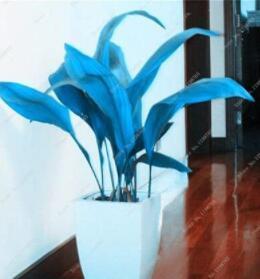 100PCS Hosta Seeds - Sky Blue Leaves