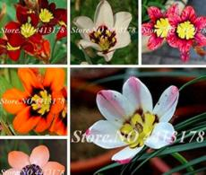 100PCS Sparaxis Flowers Seeds
