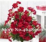 200PCS Climbing Mandevilla Sanderi Dipladenia sanderi Seeds - Dark Red Flowers