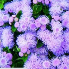 200PCS Chinese Ageratum Conyzoides Callistephus Chinensis Aster Seeds - Light Purple Flowers