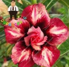 2PCS Desert Rose Adenium Seeds - 2 Types Available