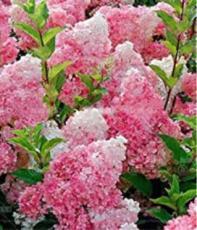 20PCS Champagne Hydrangea Seeds - Fresh Pink Flowers