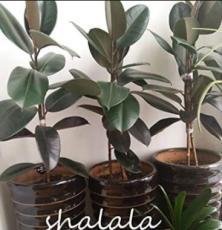 50PCS Ficus Elastica Decora Indian Rubber Tree Seeds - Green Color