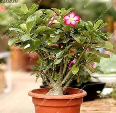 2PCS Desert Rose Adenium Seeds - Bonsai Series White Single Flowers with Rose Red Edge