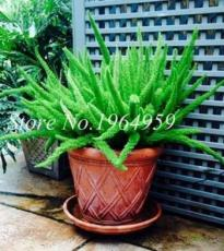 100PCS Garden Foxtail Fern Bonsai Seeds - Green Color