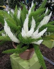 100PCS Garden Foxtail Fern Bonsai Seeds - Green and White Mixed Colors