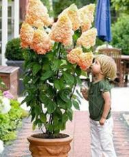 20PCS Champagne Hydrangea Seeds - Ice Cream Light Orange Flowers