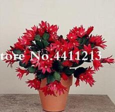 100PCS Epiphyllum Anguliger Fishbone Succulent Bonsai Flower Seeds - Dark Red Flowers