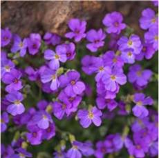 100PCS Creeping Thyme Seeds Rock Cress Perennial Ground Cover Flower - Purple Flowers