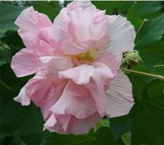 20PCS Hibiscus mutabilis Seeds - Light Pink Double Flowers