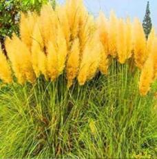 200PCS Pampas Grass Seeds - Orangish Yellow Ornamental Plants