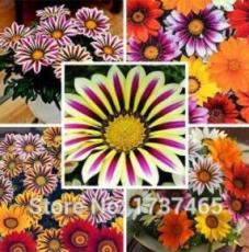 5PCS Lucky Gazania splendens Seeds - Mixed Flowers