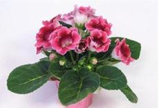 100PCS Gloxinia Seed Perennials - Rose Red Flowers