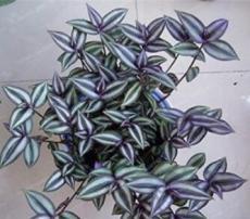 100PCS Sacred Japanese Zebrina pendula Schnizl Seeds
