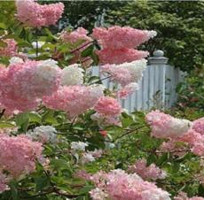 100PCS Japanese Lilac Hydrangea Flowers Seeds - Pink White Flowers