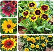 100PCS Rudbeckia Hirta Flowers Seeds - Mixed Flowers