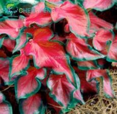 100PCS Rainbow Coleus Seeds