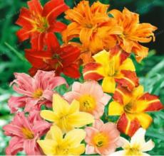 100PCS Hemerocallis Bonsai Seeds - Mixed Flowers