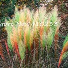 500PCS Pampas Grass Seeds - Light Yellow Green Red Colors