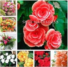 50PCS Exotic Rieger Begonia Flowers - Mixed Flowers