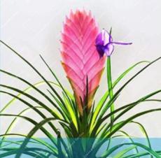 50PCS Air Plant Tillandsia Tillandsia Ionantha Soilless Seeds - Pink Flowers