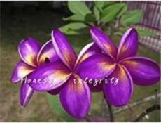 100PCS Plumeria Hawaiian Seeds - Purple Flowers