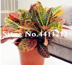 100PCS Codiaeum variegatum Seeds - Rose Red Yellow Green Colors