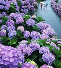 20PCS Hydrangea Seeds - Bright Purple Flowers