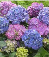 20PCS Champagne Hydrangea Seeds - Light Purple and Light Blue Flowers