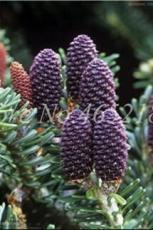100PCS Korean Fir Flores Abies koreana Seeds - Purple Fruits Color