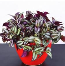 100PCS Zebrina Seed - Purple Light Gray Stripes Leaves