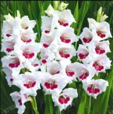300PCS Gladiola Flower Seeds - White Compact Flowers with Rose Red Centre