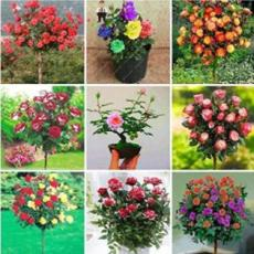 100PCS Rose Tree Seeds - Mixed 9 Types Flowers