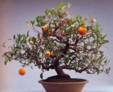 30PCS Dwarf Standing Calamondin Citrus Orange Tree Seeds