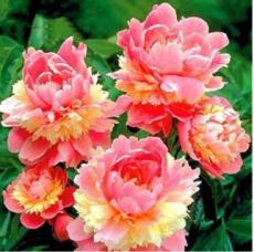 10PCS Sorbet Robust Colorful Double Blooms Peony Tree Seeds - Meaty Pink Yellow Flowers