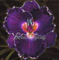 150PCS Hybrid Daylily Flower Seeds - Dark Purple Double Flowers