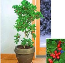 30PCS Synsepalum Dulcificum Fruit Seeds - Red Fruits