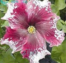 200PCS Hibiscus ROSA-SINENSIS Flower Seeds - Dark Flowers with White Damask Edge