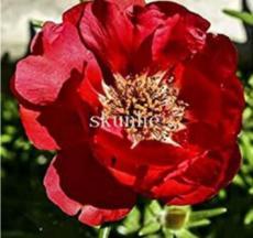 100PCS Portulaca grandiflora Seeds - Dark Red Double Flowers